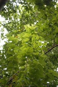 Which, Guaciama, Guazuma Ulmifolia, Guásimo, Guásima