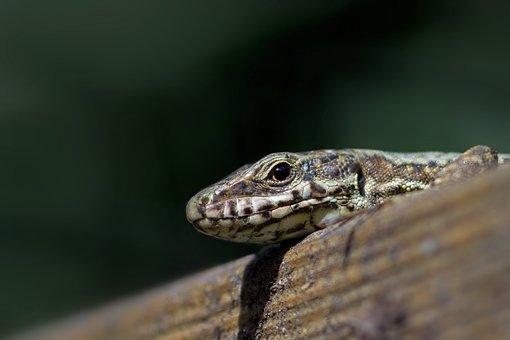 Lizard, Podarcis Muralis, Scales, Reptile, Head, Animal