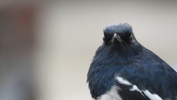 Magpie Robin, Oriental Magpie-robin, Bird, Robin