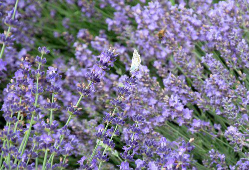 Flowers, Lavender, Butterfly, Insect, Field, Meadow