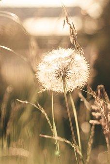 Dandelion, Grass, Meadow, Seed Head, Seeds, Fluffy