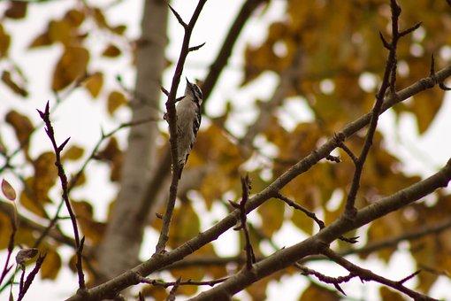 Downy Woodpecker, Bird, Nature, Wildlife, Downy