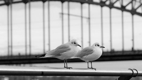 Seagulls, Pair, Perched, Railings, Perched Birds, Gulls
