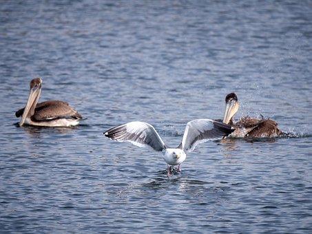 Seagull, Pelicans, Ocean, Sea, Water, Birds
