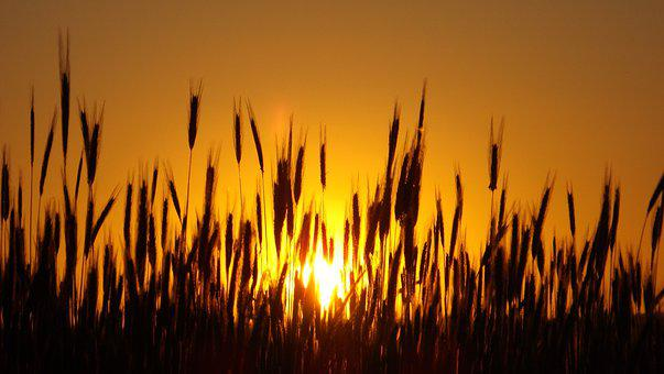 Corn Fields, Silhouettes, Sunset, Dusk, Twilight, Sun