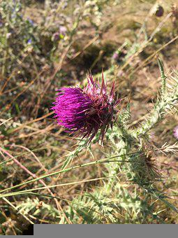Scotland, Thistle, Flower, Purple, Plant, Symbol