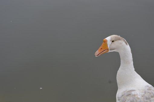 Swan, White Swan, Bird, Animal, Water, Nature, Wildlife