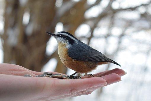 Nuthatch, Feeding, Hand, Bird, Animal, Small Bird