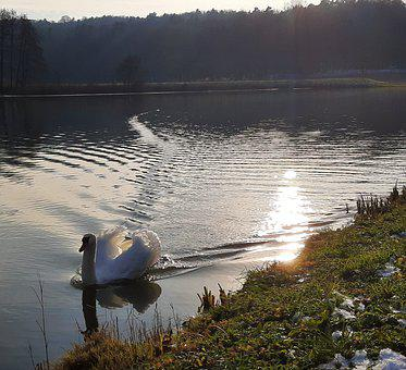 Swan, Animal, Water, Bird, Nature, Lake, White, Swim