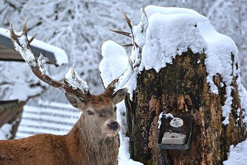 Red Deer, Hirsch, Winter, Antler, Forest, Animal World