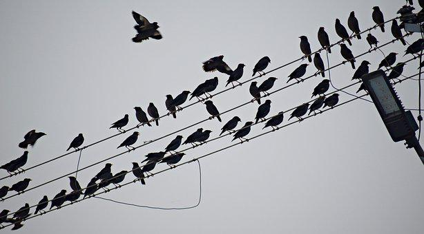 Birds Flock, Sitting, Flock, Birds, Electricity Line
