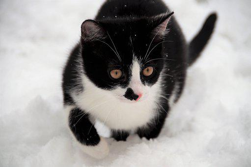 Cat, Kitten, Snow, Winter, Black And White Fur, Fur