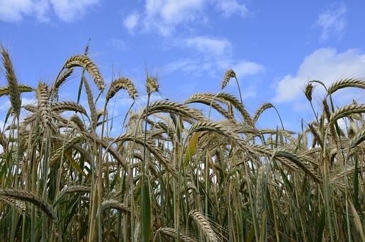 Cereals, Sky, Nature