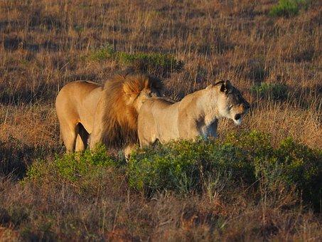 Lion, Lion Couple, Lion With Lioness, Couple, Safari