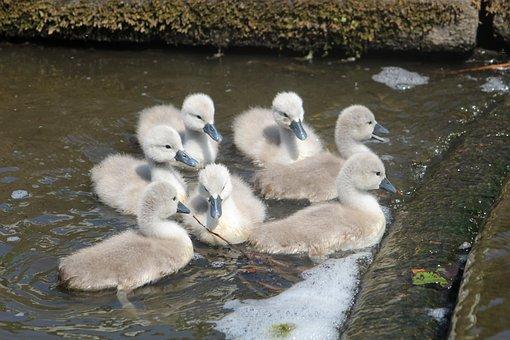 Cygnets, Baby, Swan, Water, Lake, Cute, Young