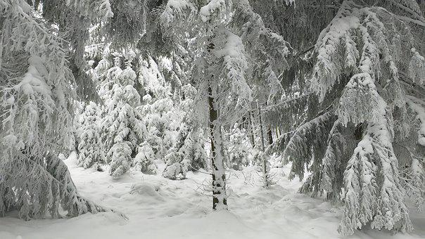 Winter, Snow, Forest, Firs, Spruce