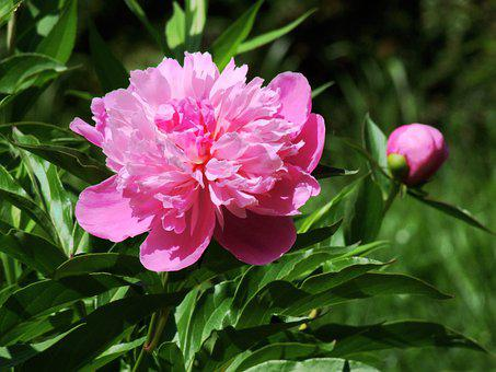Fragrant Peony, Paeonia Lactiflora, Pink, Flower, Plant