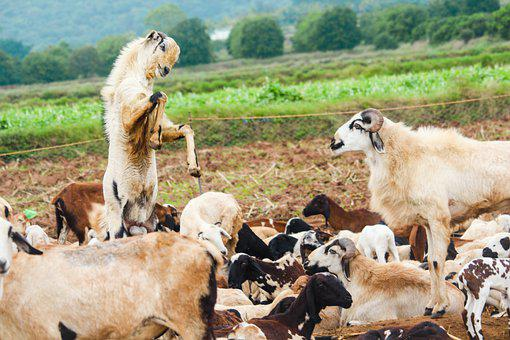 Goat Farming, Goat Farming Business Plan