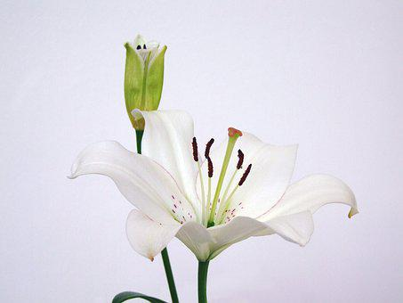 Asian Lily, Lilium Asiatic, Flower, White, Plant