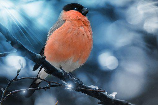 Gimpel, Bird, Nature, Pyrrhula, Winter, Male
