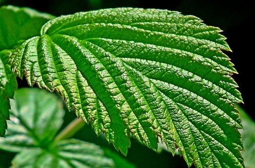 Leaf, Malina, Green, Texture, Nature, Garden, Macro