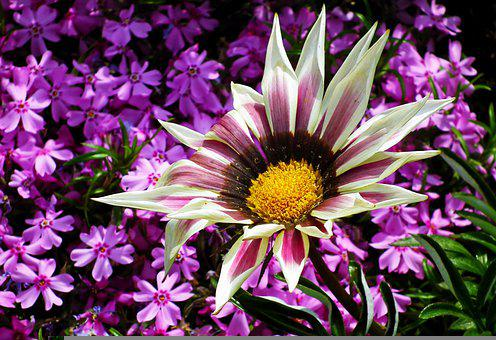 Flowers, Gazanie, Nature, Garden, Plants, Macro
