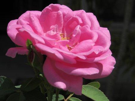 Flower, Plant, Nature, Garden, Gardening