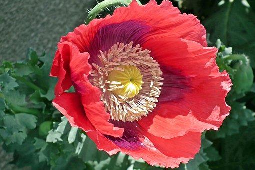 Poppy, Flower, Red, Field, Plants, Nature, Spring
