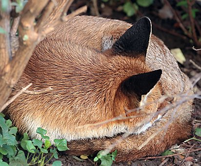 Fox, Red, Animal, Mammal, Sleeping