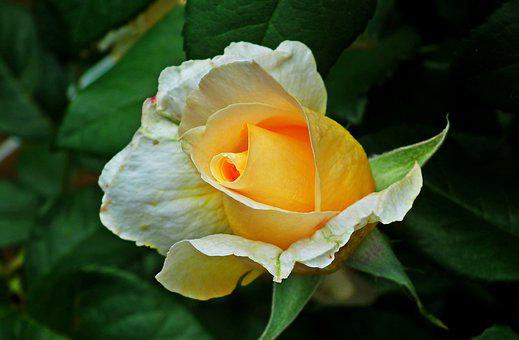 Rose, Flower, Tea, Plant, Garden, Beauty