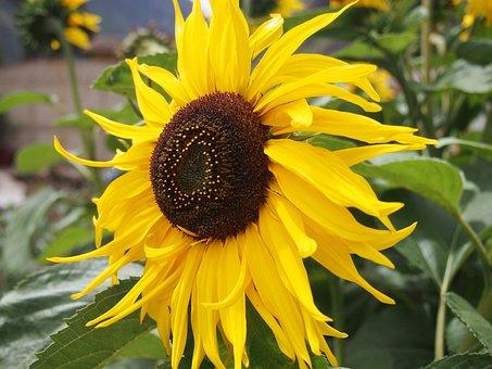 Sunflower, Flowers, Yellow, Spring