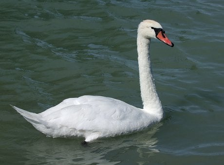 Swan, Graceful, Aquatic, Bird, White, Lake, Elegant