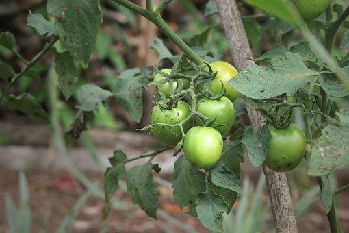 Tomato, Fruit, Plant, Macro, Nature, Portrait, Healthy