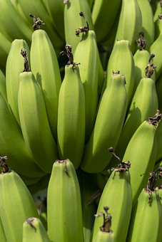 Bananas, Green, Unripe, Fruit, Tropical, Plant, Natural