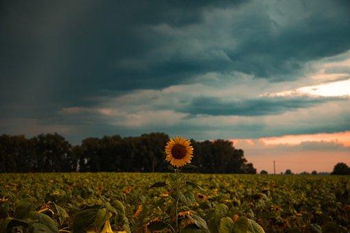 Sunflower, Weather, Sunflowers, Sky, Yellow, Nature