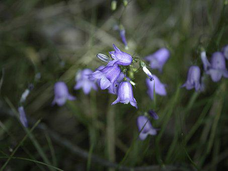 Harebell, Flowers, Plant, Bluebell, Campanula