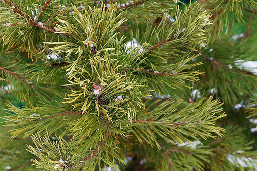 Christmas Tree, New Year's Eve, Branch, Needles, Green