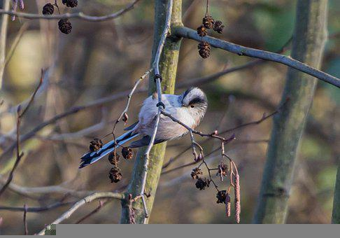 Long-tailed Tit, Bird, Branch, Perched