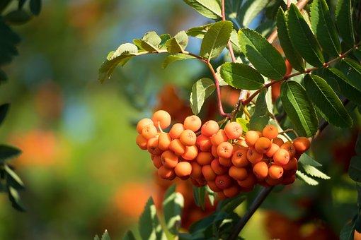 Berries, Fruit, Branches, Leaves, Foliage, Tree, Rowan