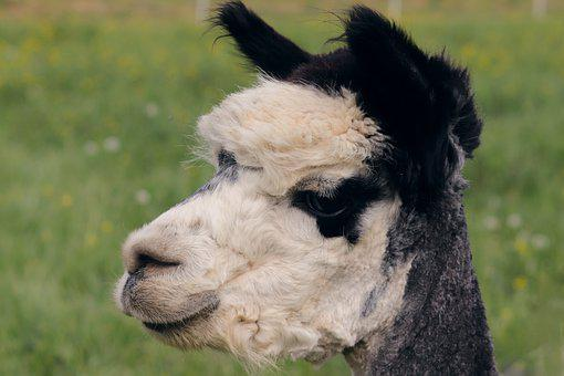 Alpaca, Animal, Head, Mammal, Camelid, Herbivore