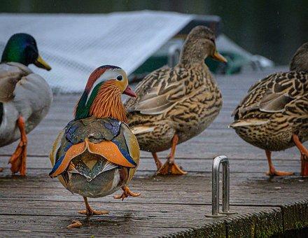 Ducks, Mandarin Ducks, Jetty, Waddle, Group, Birds