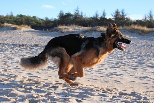 Dog, Canine, Alsatian, German Shepherd, Puppy, Pet