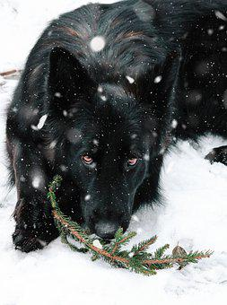 German Shepherd, Dog, Snowfall, Snow, Snowing