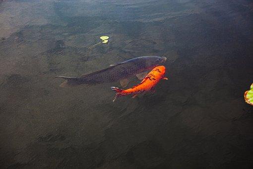 Crucian Carp, Fish, Pond, Animals, Marine, Underwater