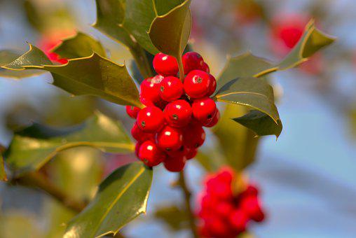 Christmas Holly, Holly, Ilex, Red, Green, Berries