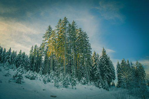 Trees, Hill, Snow, Firs, Conifers, Cold, Snowy, Wintry