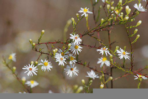 Daisies, Flowers, Plant, White Flowers, Small Flowers
