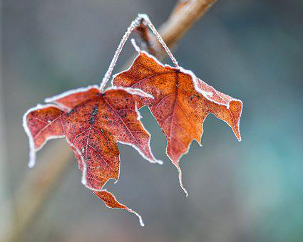 Leaves, Branch, Frost, Frozen, Ice, Cold, Winter, Fall