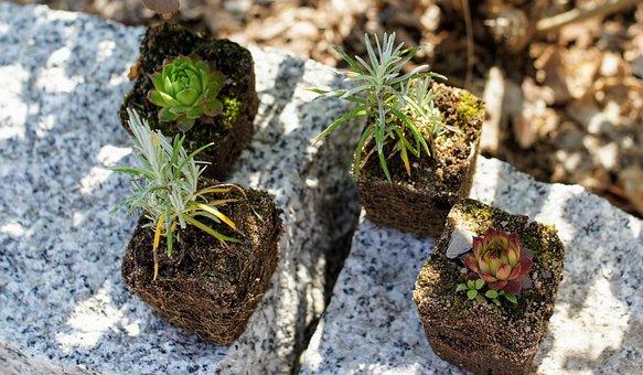 Succulents, Plants, Garden, Houseleek, Stonecrop, Sedum