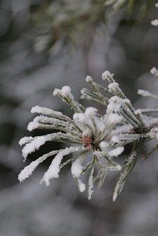 Pine, Needles, Frost, Hoarfrost, Snow, Winter, Conifer
